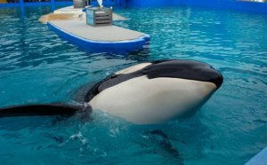 This is Lolita, who has been in Miami Seaquarium for 43 years.
